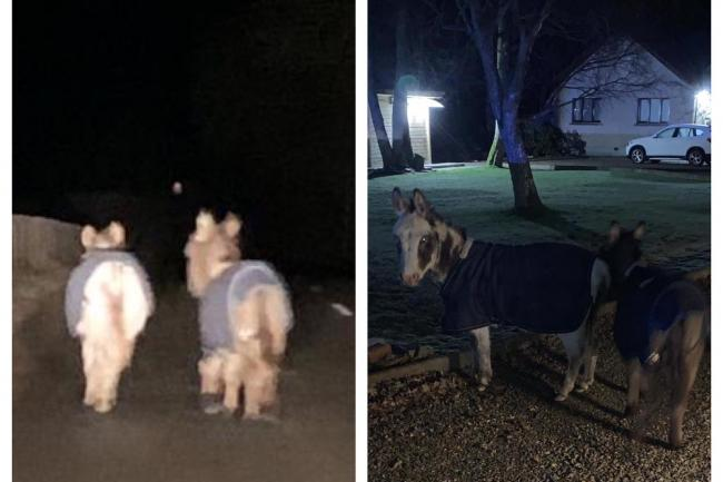 The two donkeys out for a walk