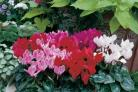 HARDY BLOOMS: The Cyclamen Miracle series