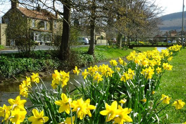 Daffodils on the banks of Scugdale Beck, Swainby, pictured by Tim Dunn, of Stokesley