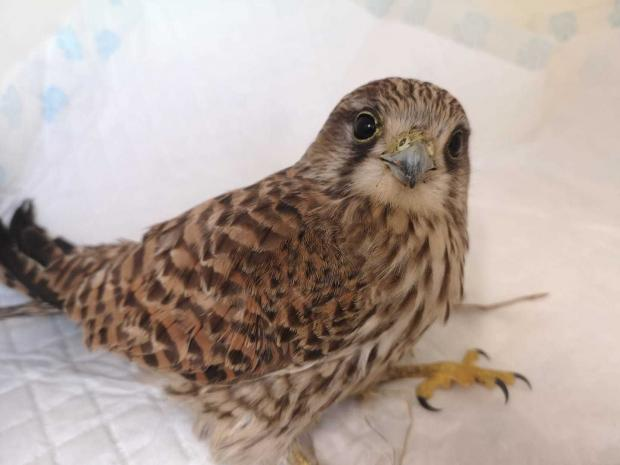 Darlington and Stockton Times: A kestrel rescued near Pickering on Christmas Day, likely to be struggling to find food due to the cold, wet weather