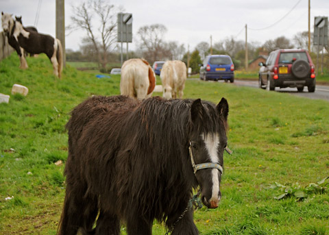 An example of horses tethered at the roadside.