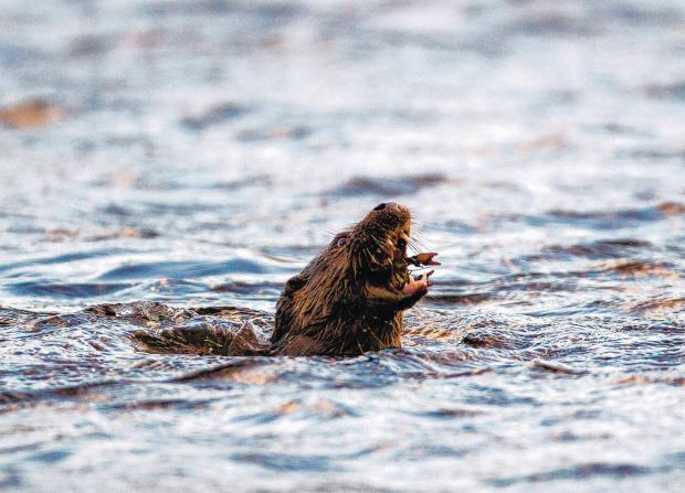 PHOTOGRAPHIC EVIDENCE: Simon Phillpotts' stunning photographs of an otter feeding on the River Ure, in Wensleydale