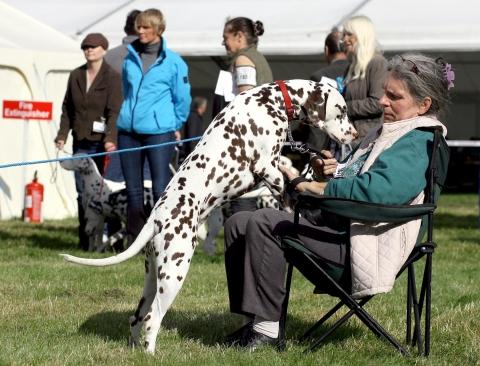 Darlington Dog Show with hounds, terriers and utility breeds being shown.