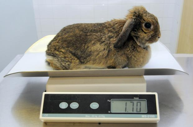 LOSING STREAK: Bobby the bunny after shedding 690 grams