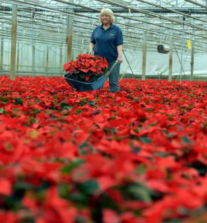Gardener Susan Dale amidst a red sea of poinsettias