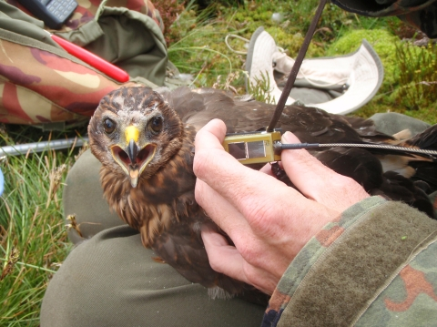 Bowland Betty has a radio transmitter fitted as a chick