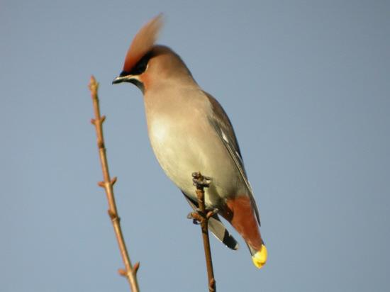 SEASONAL: A waxwing, flocks of which enlivened winter watching
