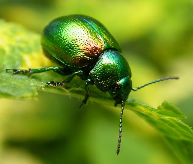 IN DANGER: A tansy beetle