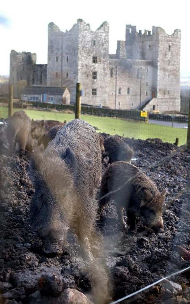 Bolton Castle, near Redmire: Wild boar have been reintroduced  into the grounds