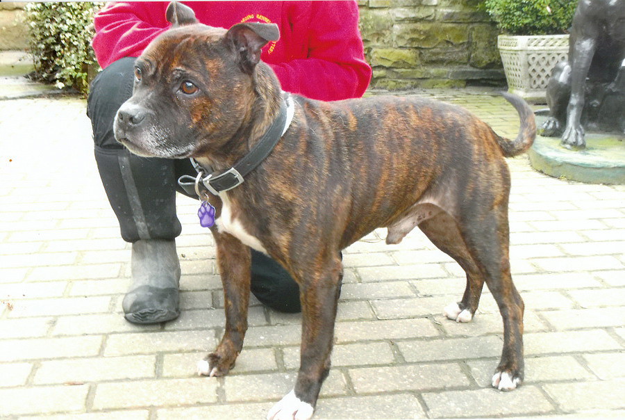 NEED OF HOME: Staffordshire bull terrier Vinnie