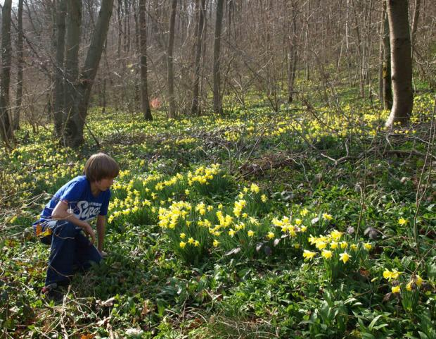 GETTING WILD: A boy looks at wild daffodils on the North York Moors