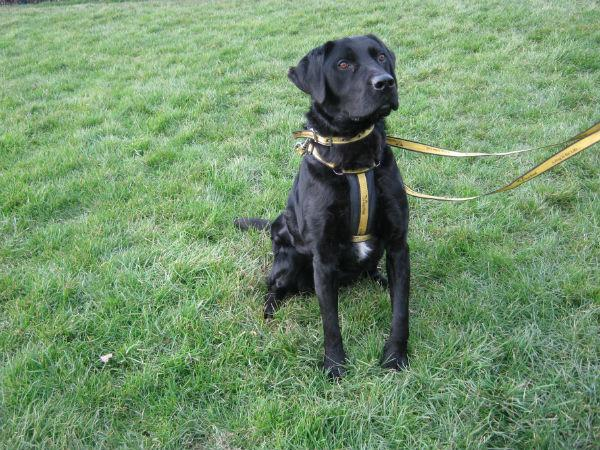 Danny, a four-year-old Labrador cross