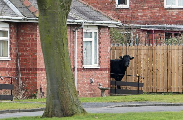 The escaped bullock evades capture in Tennyson Gardens, Darlington