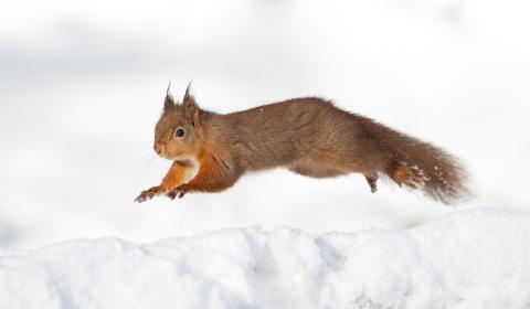 REG PIC New group launched to protect red squirrel colony