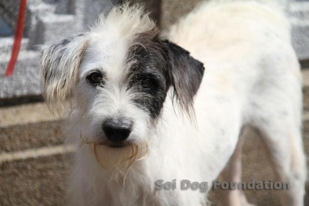 Domino, a terrier, missing from a house in Darlington
