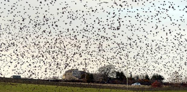 WEIGHT OF NUMBERS: Hundreds of starlings are seen in the sky over Bowes, County Durham, on Saturday night
