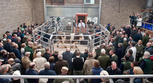BIG DAY: the first bull goes into the ring at the new Wigton mart complex