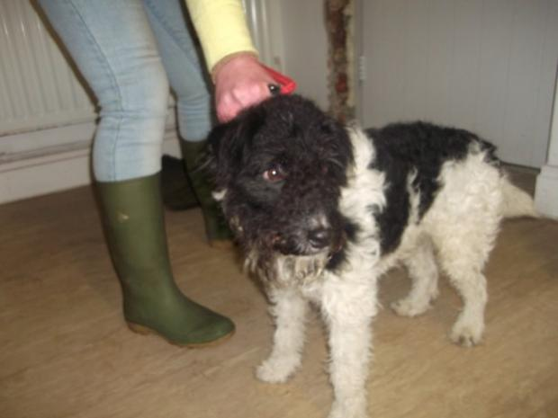 LOST DOG: The black and white terrier cross found in Middleton-in-Teesdale