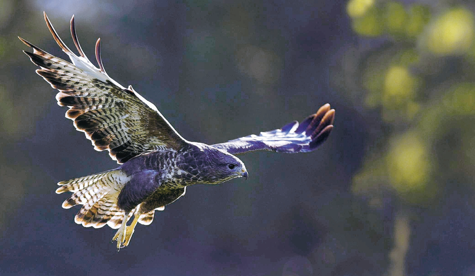 A buzzard in flight.