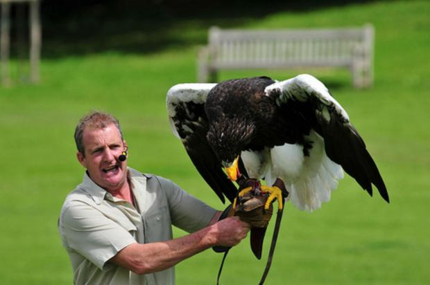 Nikita, a Steller's Sea Eagle with her owner Chris O'Donnell. She's now been spotted in Lancashire after going missing