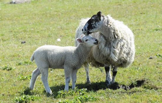 Ewes are particularly vulnerable to dog attacks during the lambing season