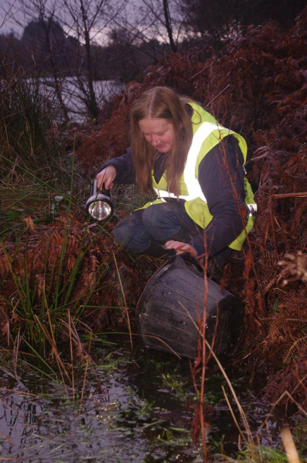 Darlington and Stockton Times: Volunteer Pat Duggan releases toads into the water. Picture by Helen Johnson