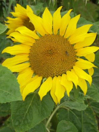 WARTIME PROJECT: Sunflowers like this one will be used for a First World War project in Stockton