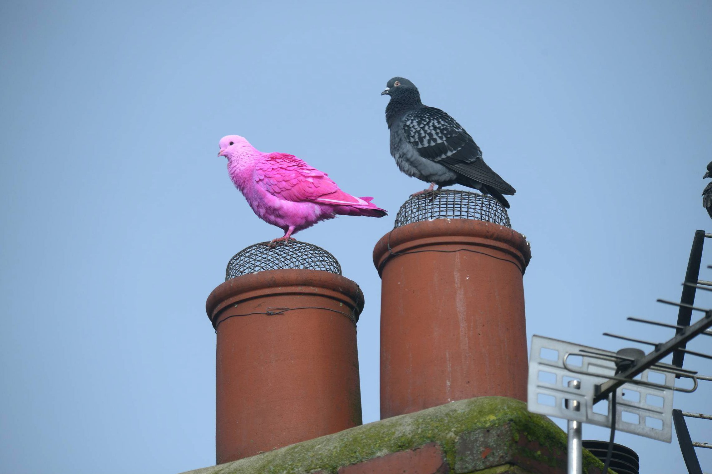 Pink pigeon spotted in skies above Darlington