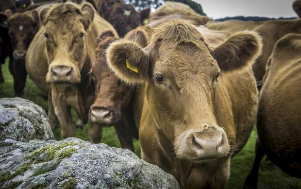 HARDY BREED: Luing cows