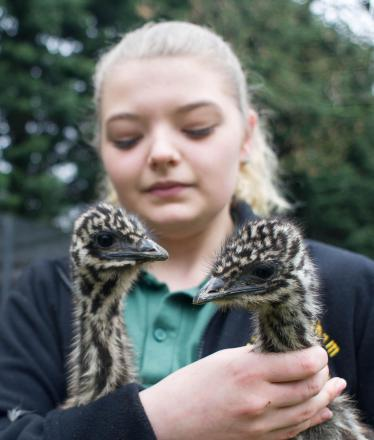 Natalie Winner, 17, from Redcar holds a couple of six week old Emu chicks called Donk and Didge at Kirkleatham Owl Centre. Natalie works at the centre. The chicks will eventually grow to be around 5ft tall.