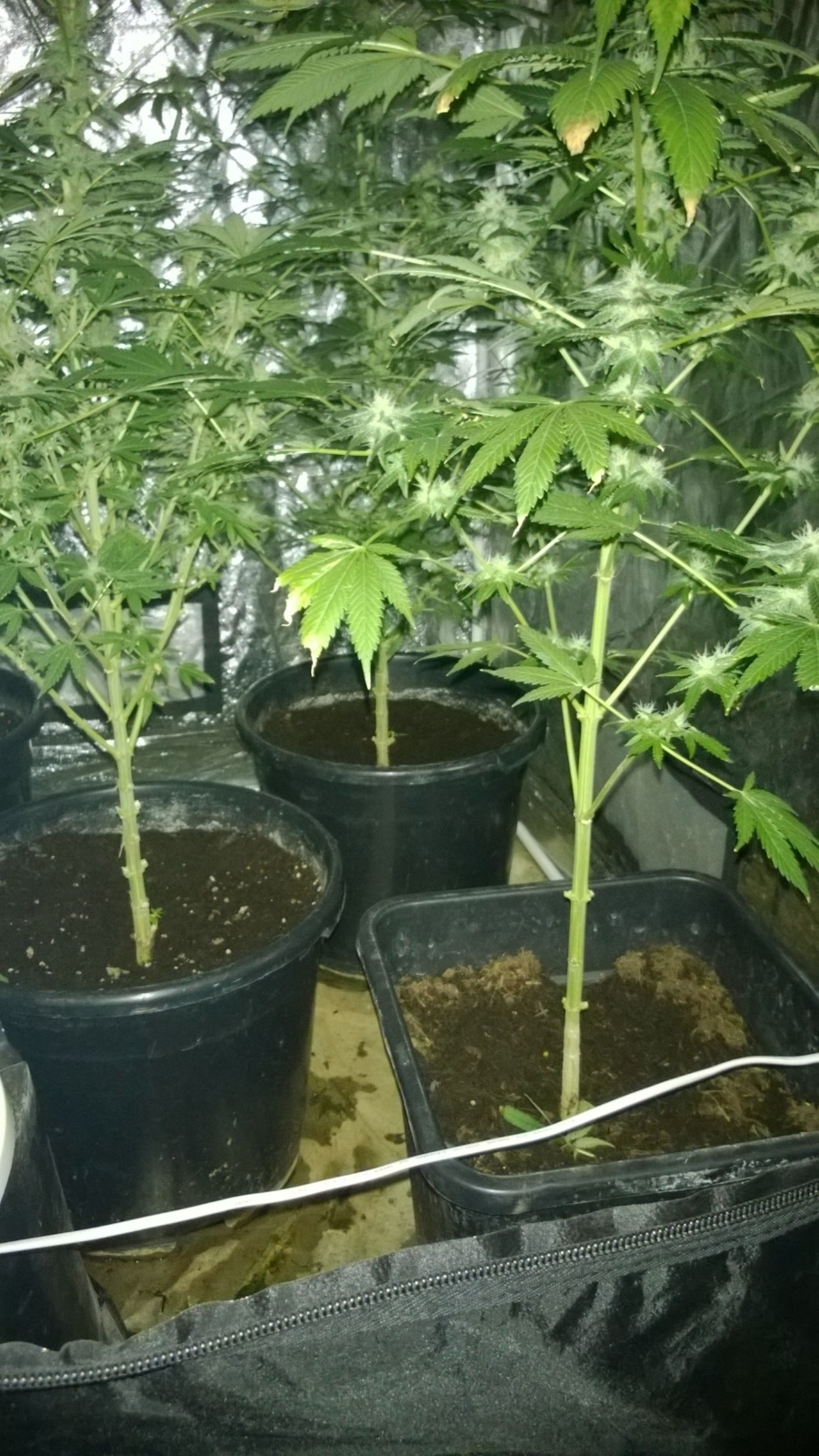 Cannabis plants like these were found in an upstairs bedroom at Philip Newnham's home