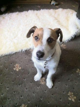 Toby the Jack Russell mauled to death by a pit-bull terrier-type dog belonging to Ian McIntosh, of Stockton.