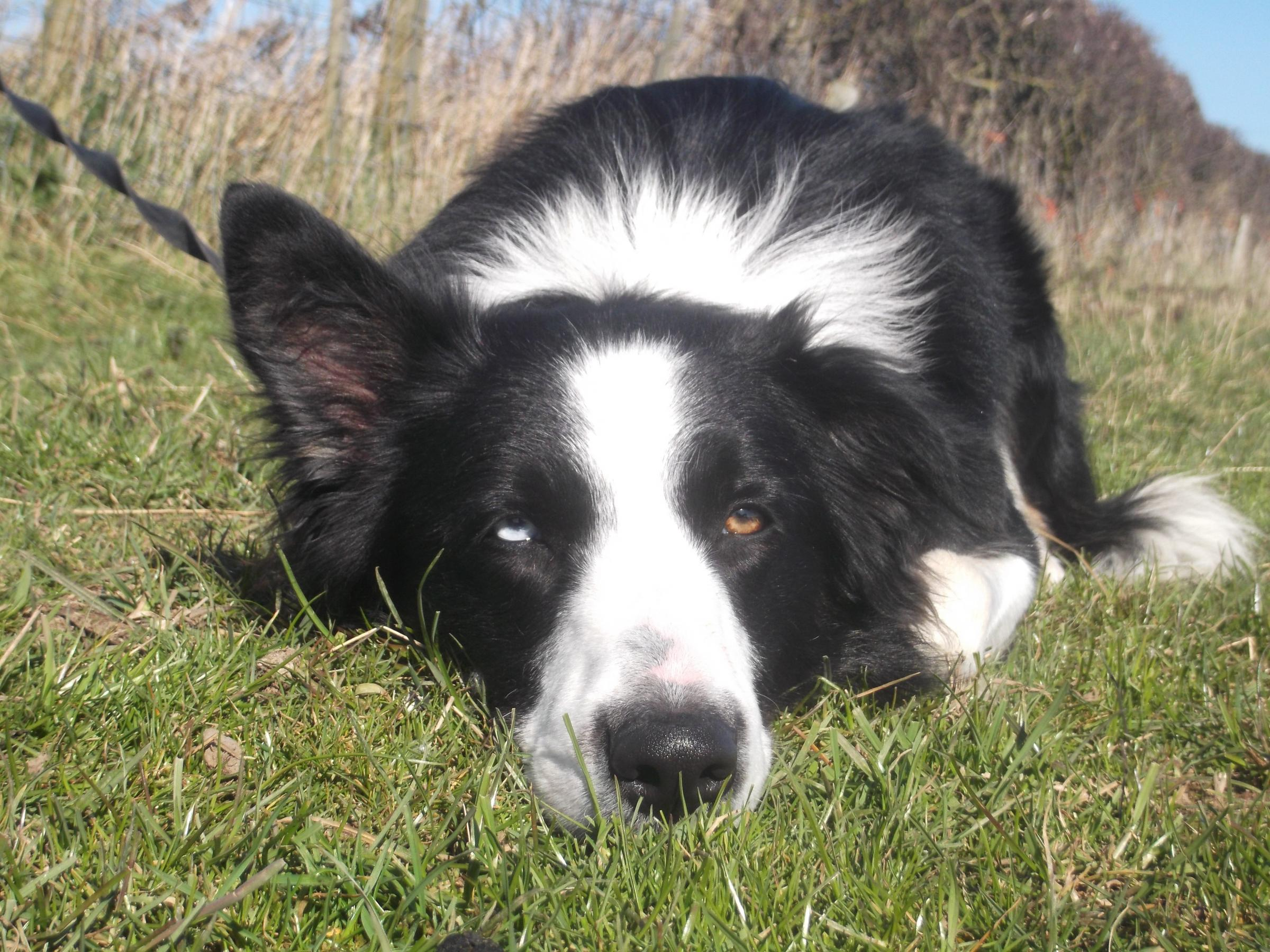 The Dogs Trust looks after animals like border collie Blue who needs a new home