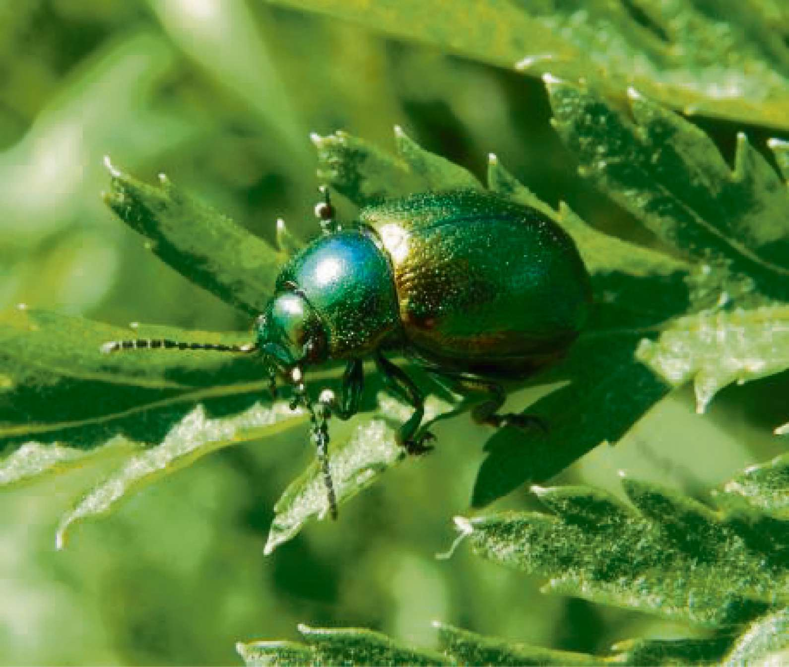 TANSY BEETLE: Safeguarded by new SSSI.