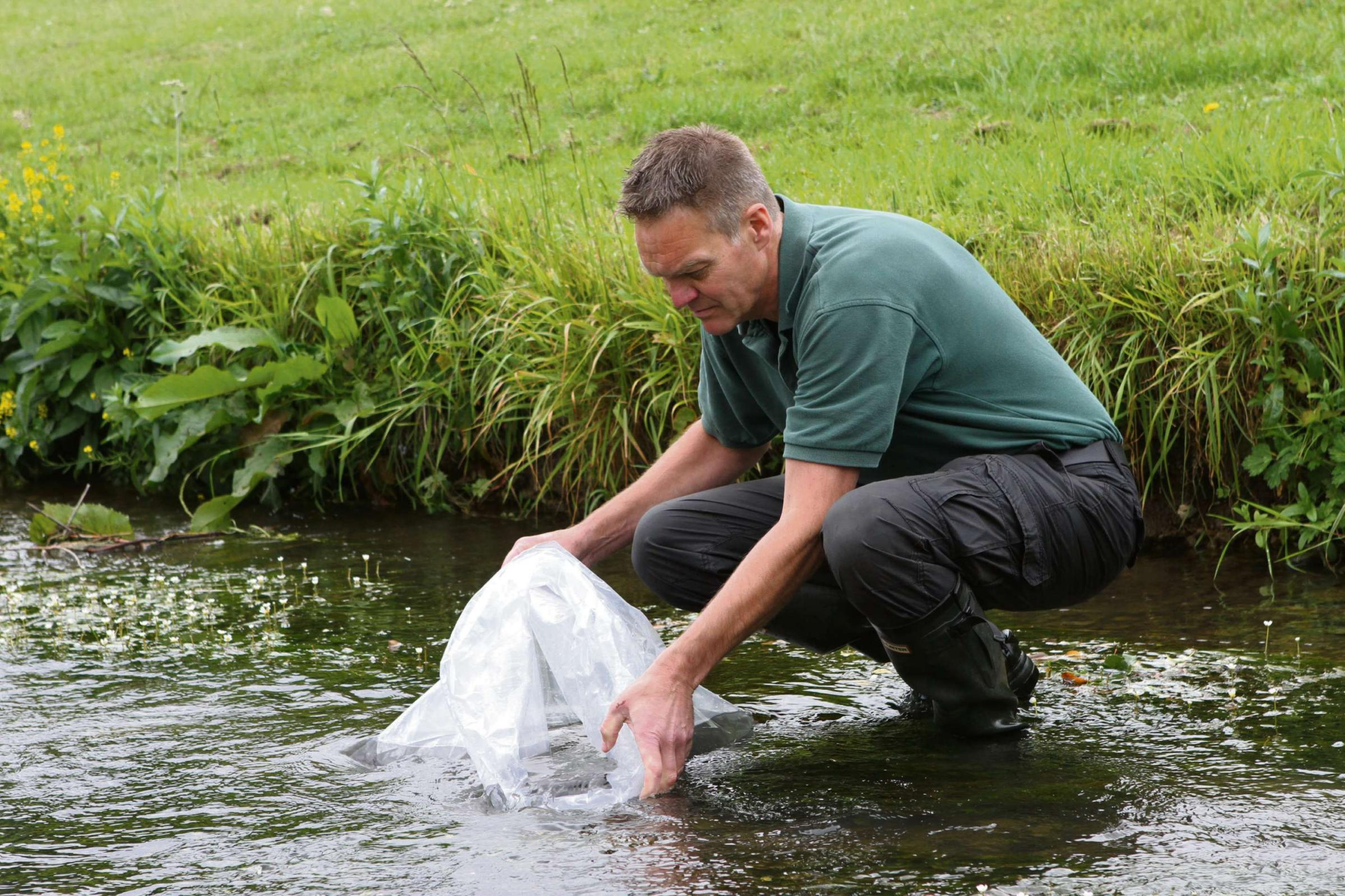 FLASH BACK: Paul Frear from the Environment Agency putting Grayling into Clow Beck, near Darlington, in 2011.