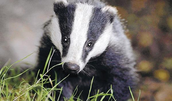 CONTROVERSIAL: the Government insists badger culling is needed to eradicate TB