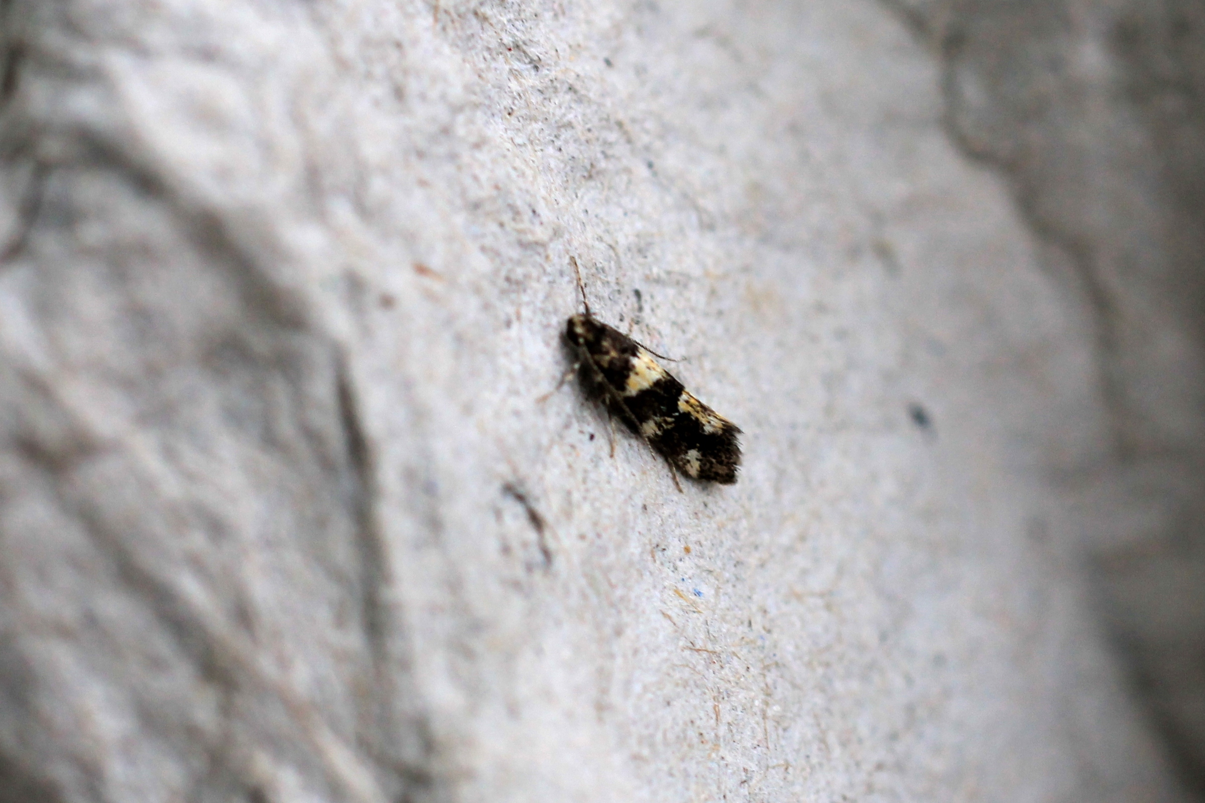 ENDANGERED: The extremely rare White-spotted Black micro moth, discovered in York city centre