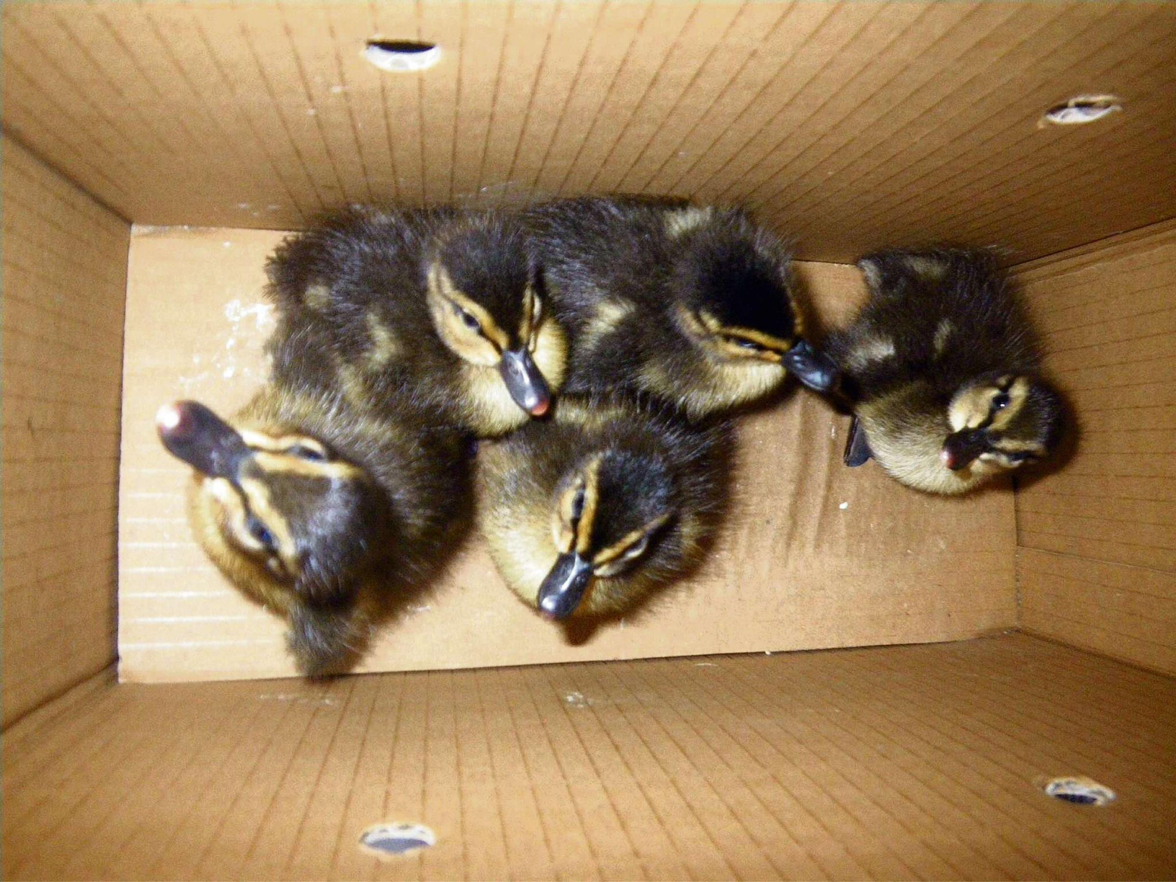 Fire crew rescues duckling family