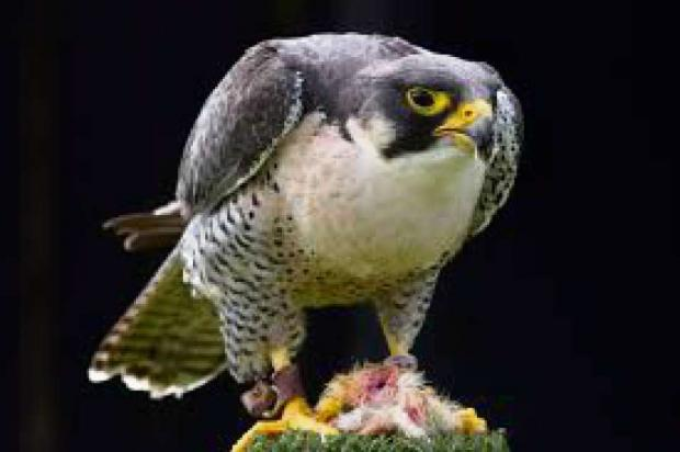 POPULAR BIRD: Peregrine falcon viewing point celebrates hitting the 200,000 visitor mark.
