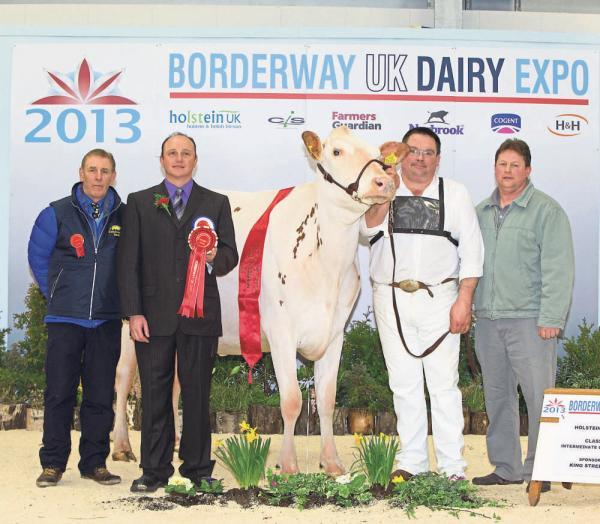 CHAMPION: Andrew and Alison Bunting's Sterndale Sterling Jodie Red, of the Newabbey herd, based near Dumfries, won the 2013 UK Dairy Expo's red and white championship, and take the intermediate champion in the Holstein show