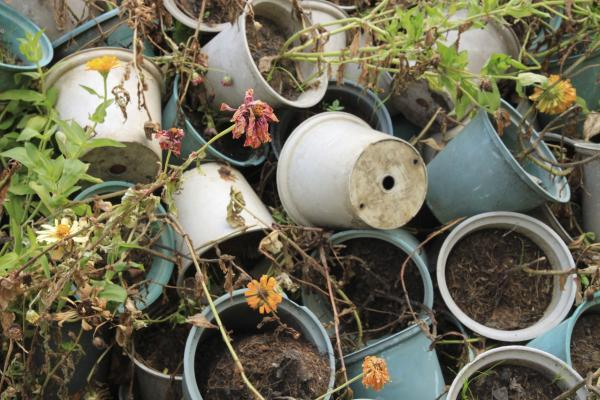 FIT FOR NOTHING: These dried up plants are bound for the compost heap