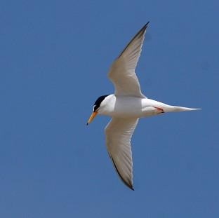 Little terns have been badly affected by recent severe weather condition