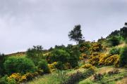 TOUGH CUSTOMER: Gorse, often known locally as whin, flowering yellow on the slopes of Eston Moor, in Cleveland