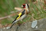 The goldfinch - a shy songbird