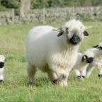 Darlington and Stockton Times: Dated: 20/10/2014    UN-EWE-SUAL SIGHT ON NORTHUMBERLAND FARM ...   Four incredibly rare Valais Blacknose lambs - usually found in the Swiss Alps - have been born on a farm in Whittingham, Northumberland, after farmer Jamie Wood imported four ewes and one