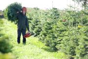 Christmas trees being grown for John Lewis
