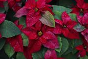 Poinsettia is a popular Christmas plant