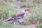 A Snow Bunting