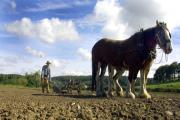 Heavy horses like these, at Beamish Museum in County Durham, were once the norm on our farms