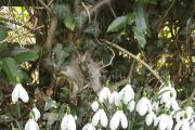 Snowdrops can form a spectacular show